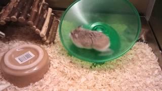 Roborovski dwarf hamster backflip