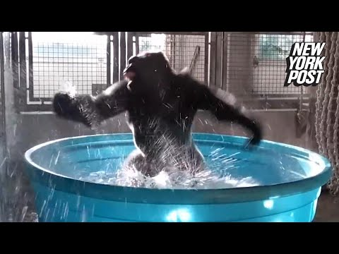 This gorilla is now the animal kingdom