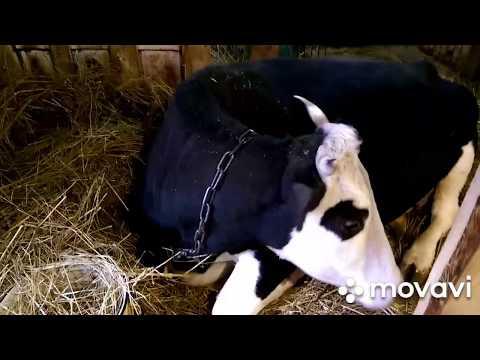 Вопрос: Можно ли выпасать коров в связи с такой обстановкой по коронавирусу?
