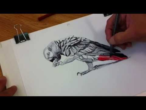 HOW I DRAW AN AFRICAN GREY PARROT