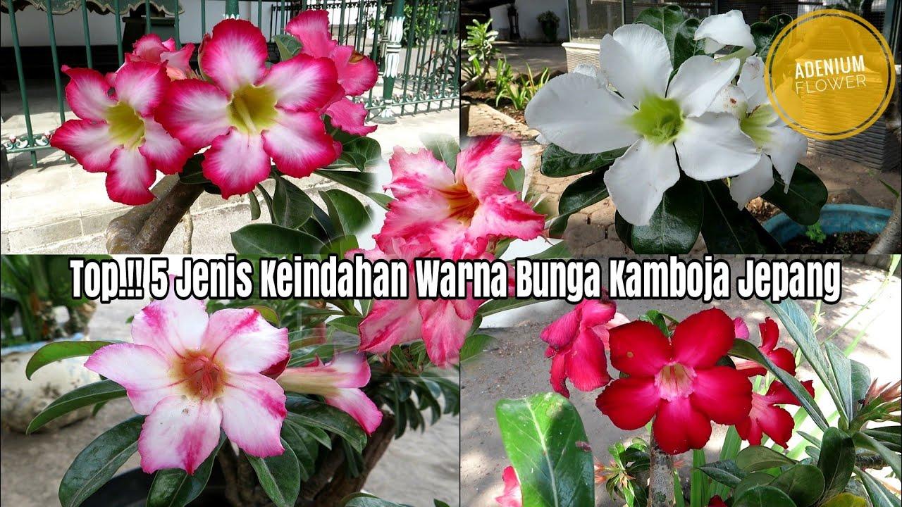 Top 5 Jenis Keindahan Warna Bunga Kamboja Jepang Adenium Youtube