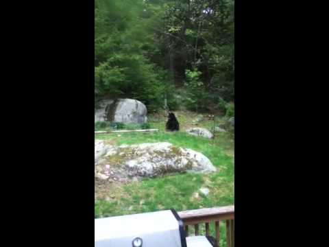 Black bear in Westford, MA