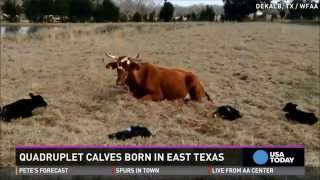 Holy cow! Rare quadruplet calves born in Texas