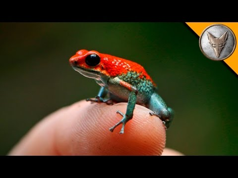 Thumbnail: Deadly Poison Dart Frog?