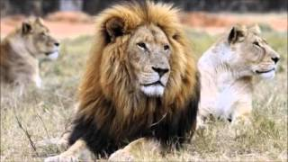 #SaveSylvester plea over South African escaped lion