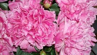 розовые пионы на даче в дизайне(розовые пионы на даче в дизайне букетов, композиций и ландшафта. Подписывайтесь на канал Дача и цветы https://www..., 2015-06-21T08:09:34.000Z)