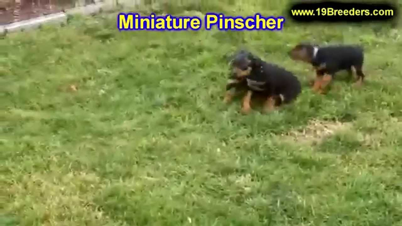 Miniature Pinscher, Puppies, Dogs, For Sale, In Memphis ...