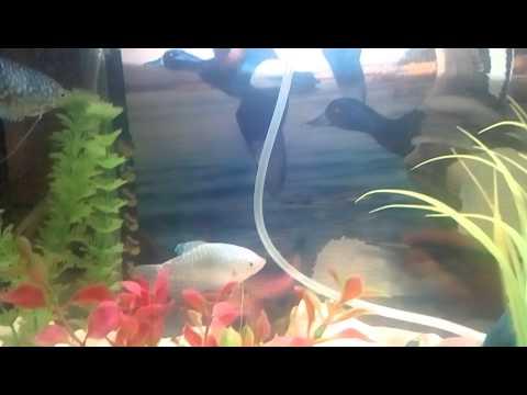 Гурами в аквариуме самец(темный) самка(светлая)