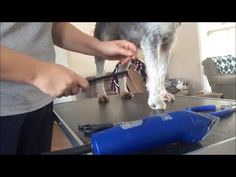 Grooming Your Schnauzers Paws and Nail Trimming/ Part 7