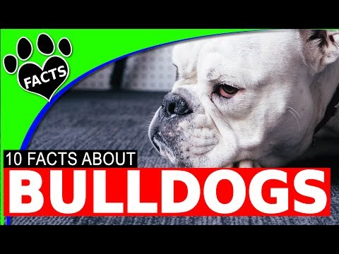 English Bulldogs Dogs 101 Facts Information Most Popular Dog Breeds - Animal Facts