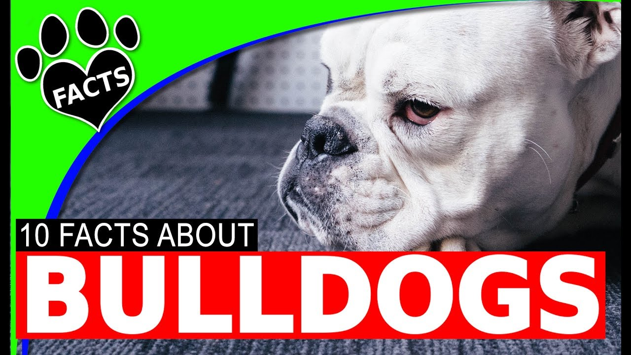 Dogs 101: English Bulldogs Facts Information Most Popular Dog Breeds - Animal Facts