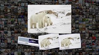 видео: На Новой Земле введен режим ЧС из-за нашествия белых медведей