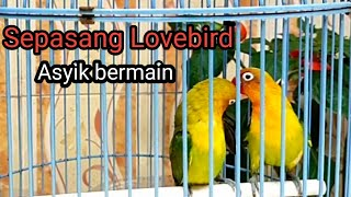 BURUNG LOVEBIRD|| Sepasang burung lovebird(BALIBU) sedang asik bermain
