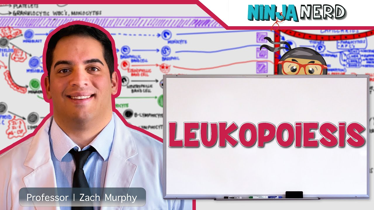 Hematology | Leukopoiesis | White Blood Cell Formation