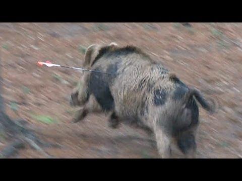 Giant Boar Stops Arrow Like A Brick Wall