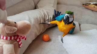 Говорящий попугай Ара - злится. Ара разговаривает , бегает по дивану и ест печенье!