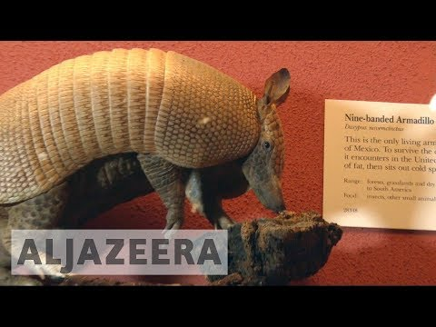 Armadillos' migration to northern US thought to be sign of climate change