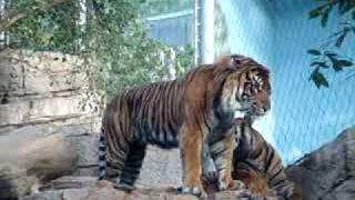 Kissing Tigers