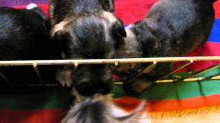 Mini Schnauzer Puppies Play Concord, North Carolina