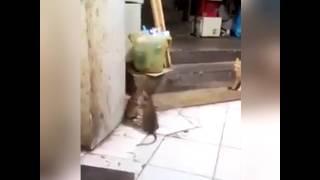 Dos ratas peleando con musica de likin park de fondo