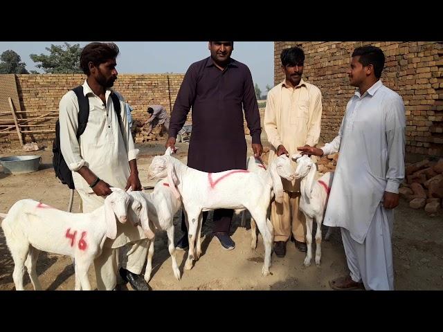 Sheikhupura rajanpuri Bakra ja rahi hai shekhupura mein Mohammad Sabir goat farm se