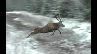 Охота на кабана и косулю. Загонная охота в Беларуси, часть-2.