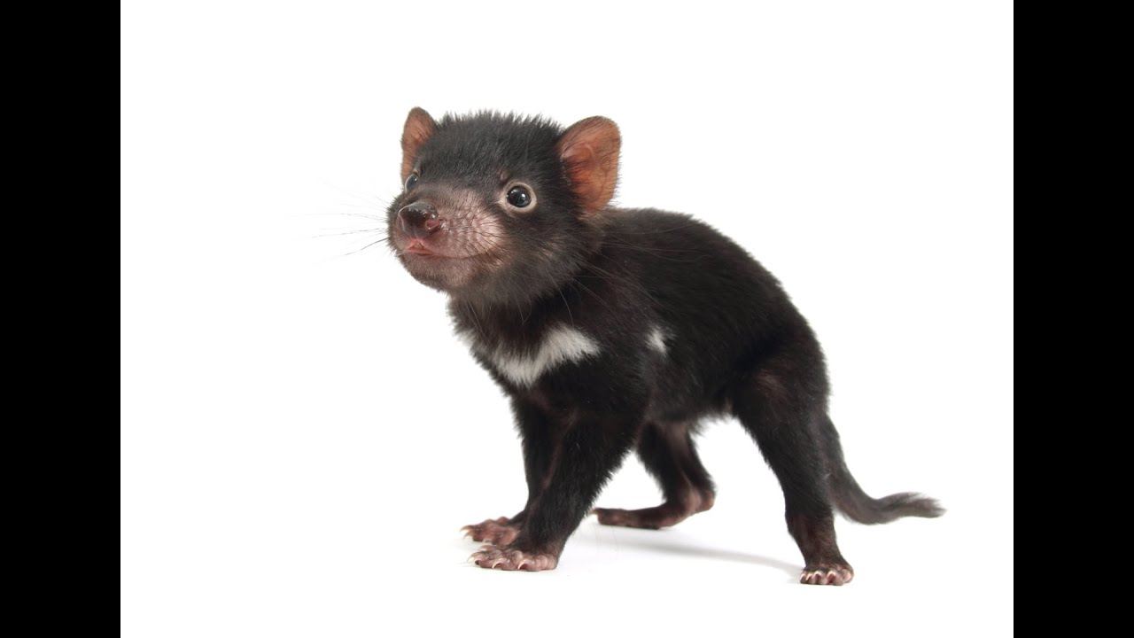 Tasmanian devils need help youtube - Tasmanian devil pics ...