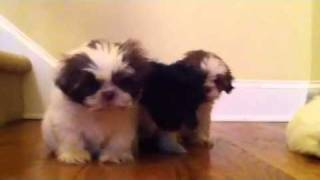 Shih'tzu X-tiny Puppies For Sale In Marietta,georgia