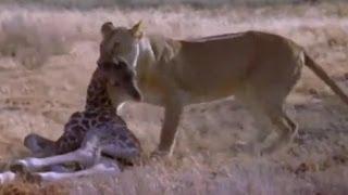 Aslan Saklanan Yavru Zürafayı Bulup Öldürüyor