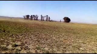 Greyhound Chasing //Zikhala bukhoma