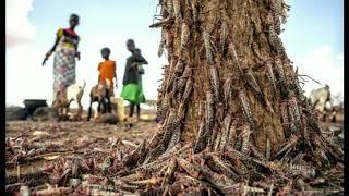 KAPPAN MOVIE SCENE COMES TRUE tamil  / LOCUST ATTACK / Locust attack in india and tamilnadu