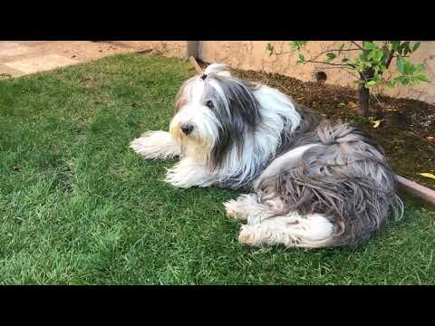 Bearded Collie Perspective - Its A Dogs Life