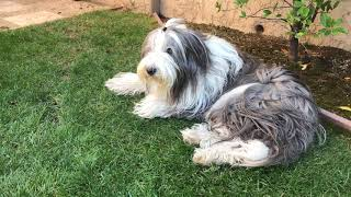 Bearded Collie Perspective  Its A Dogs Life