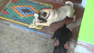 Cute Mini Pinscher And Pug
