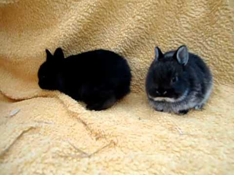 b b lapins nain martre brun a jarre blanc et bb lapin. Black Bedroom Furniture Sets. Home Design Ideas