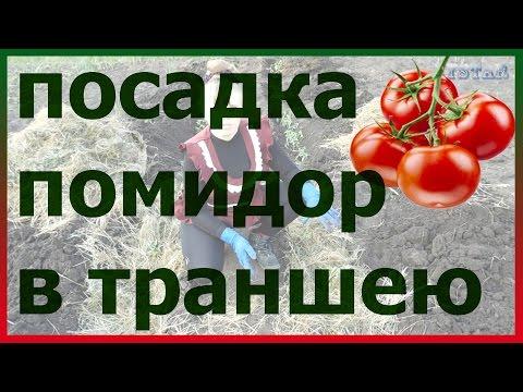 Посадка помидор в траншею. Как сажать помидоры в траншею. Помидоры в открытый грунт.