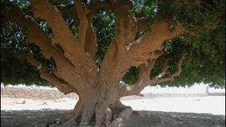 شاهد.. الشجرة التي استظل الرسول تحتها