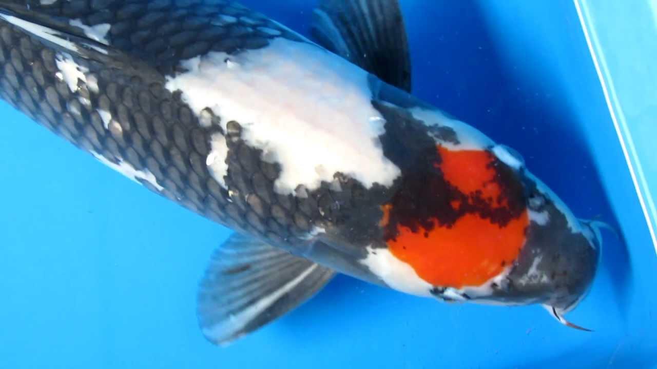 22 23 tancho showa koi fish youtube for Tancho koi fish