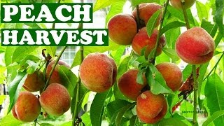 Harvesting Fresh Peaches From Tree - Harvest Peach Fruits When How To Tell Fruit Is Ripe Ready Video