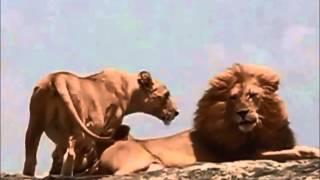 『居酒屋で使えるネタ』シリーズ第1弾。 どんな雄ライオンが、雌ライオ...