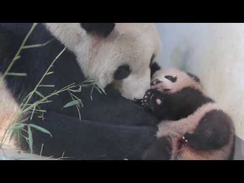 Watch Peanut the Baby Panda Take Her First Adorably Clumsy Steps