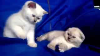 шотландские котята в Витебске питомник шотландских кошек Lanssary http://lanssary.com