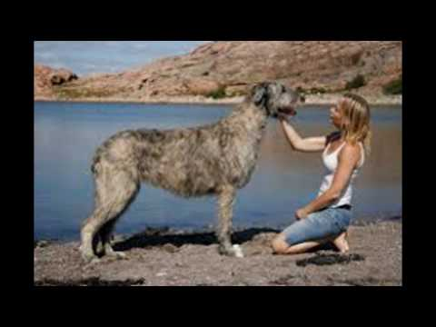 Top 5 Largest Dog Breeds In The World