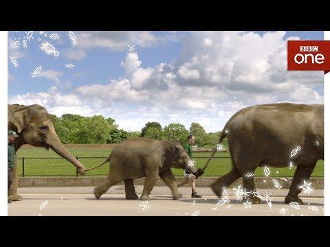 Attenborough explores the zoo elephants - Attenborough and the Giant Elephant  - BBC
