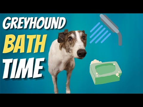Greyhound Bath Time with Magnus