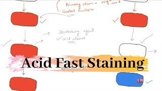 Acid Fast Stain – Differential Stain