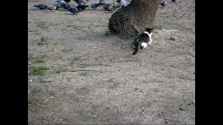 大阪・桜ノ宮公園で散歩中に出会った街猫が公園鳩を狙っている処を撮影...