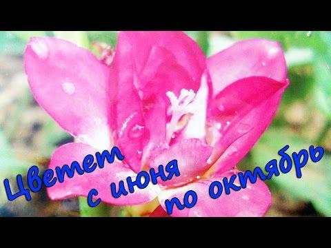 Цветок Фрезия Посадка луковиц