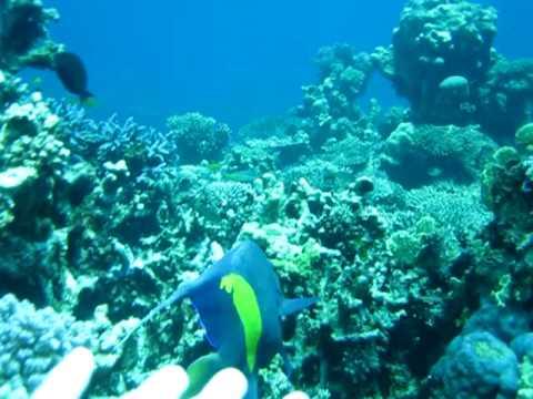 Maculosus Angel Fish Red Sea