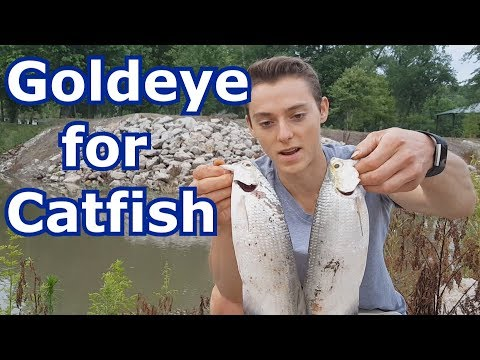 Catching One Of The Best River Catfish Baits: Goldeye